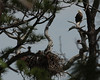 Bald eagle and eaglet Honeymoon Island