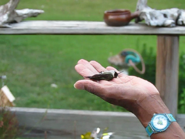 Our dominant male Ruby-throat, Buzz, has a band... With a lot of help from the Hummingbird Forum, we met his bander (Lanny Chambers) who re-captured Buzz to record his progress. Here Lanny places Buzz in Temples hand, for her to release him back into the yard.