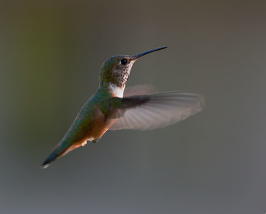 Immature Rufous Hummingbird