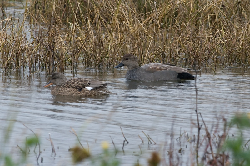 Gadwall, male and female