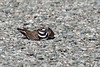 """Female Killdeer doing the """"broken-wing act"""" to try to distract a possible predator from the nest"""