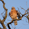 "Red-shouldered Hawk.  ""I'm all shook up!"""