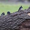 Acorn Woodpeckers.  Ancil Hoffman Nature Preserve.