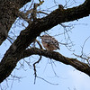 Red-shouldered Hawk.  AHNP