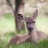 Unconcerned deer.  AHNP.