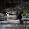 Mallard paddling in duck pond at the Nature Center.