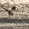 Ancil Hoffman Nature Preserve in Carmichael, CA   Spotted Towhee