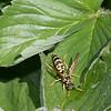 Sacramento, CA  Paper wasp