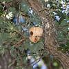 Large Oak Gall