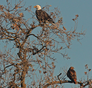 Bald Eagle & Red-Tailed Hawk, Colusa NWR