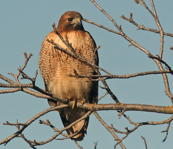 Red-Shouldered Hawk, Colusa NWR
