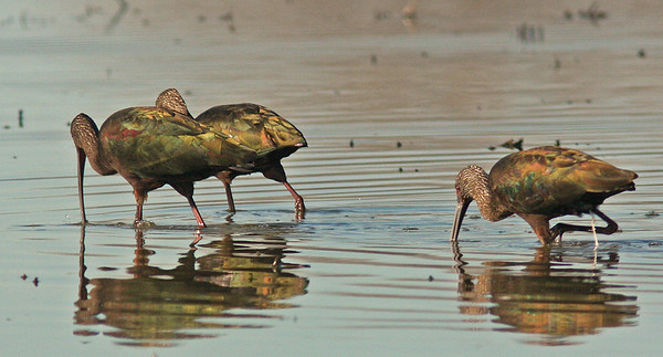 Glossy Ibis feeding, Delavan NWR