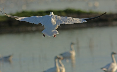 Snow Goose fly-in Colusa NWR.