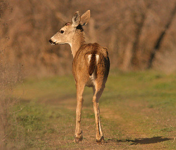 Young Deer, Sacto WLR