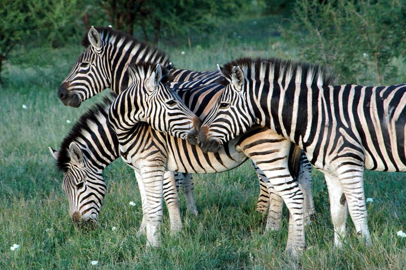 Copy of four zebra
