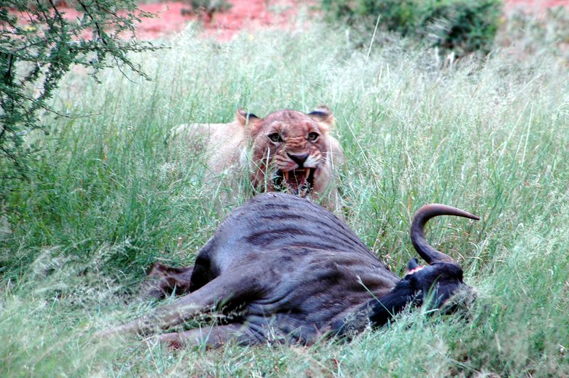 lion at kill