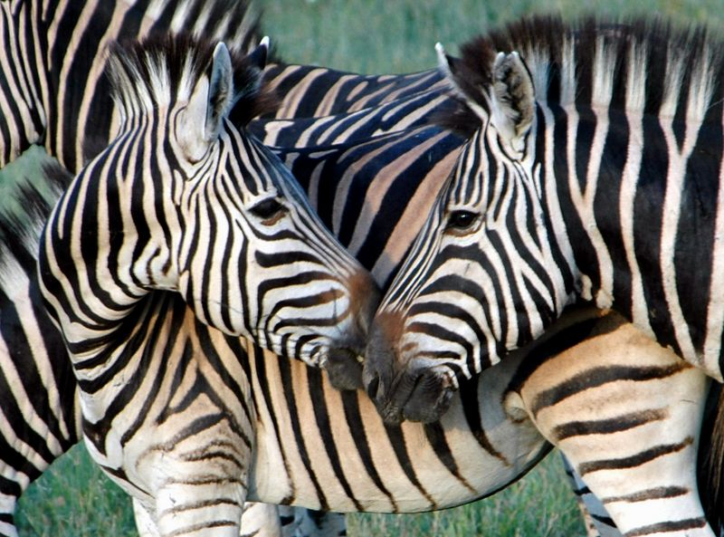 four zebra cropped