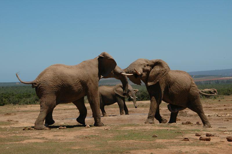 elephant fight5