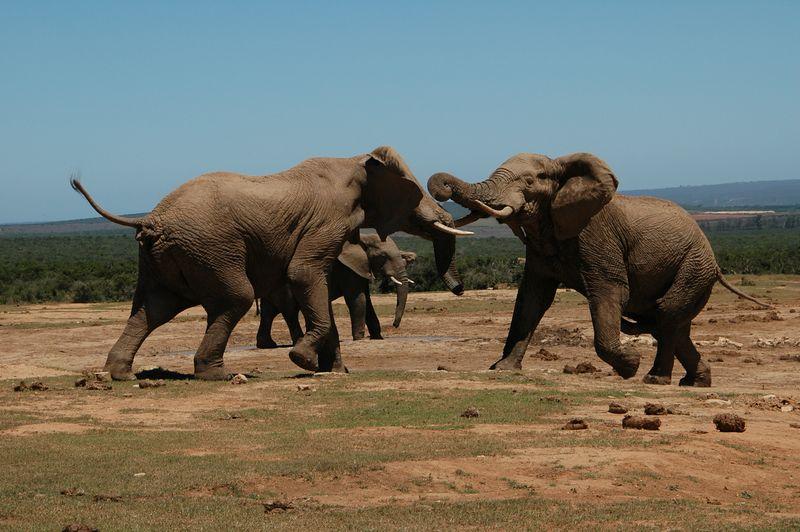 elephant fight4