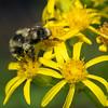 Bumblebee on composite.