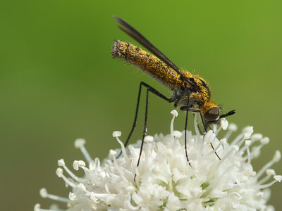 Attractive fly on  Sphenosciadium capitellatum.