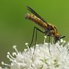 Attractive fly on  Sphenosciadium capitellatum.