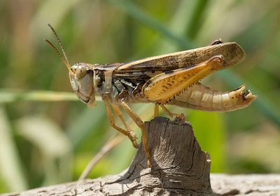 Grasshopper posing nicely.