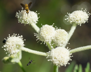 Fly and wasp (bee?) on  Sphenosciadium capitellatum.