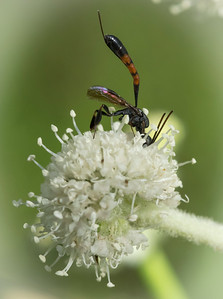Wasp on  Sphenosciadium capitellatum.   An ichneumonid?