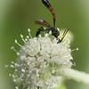 Wasp on  Sphenosciadium capitellatum.   An ichneumonid?