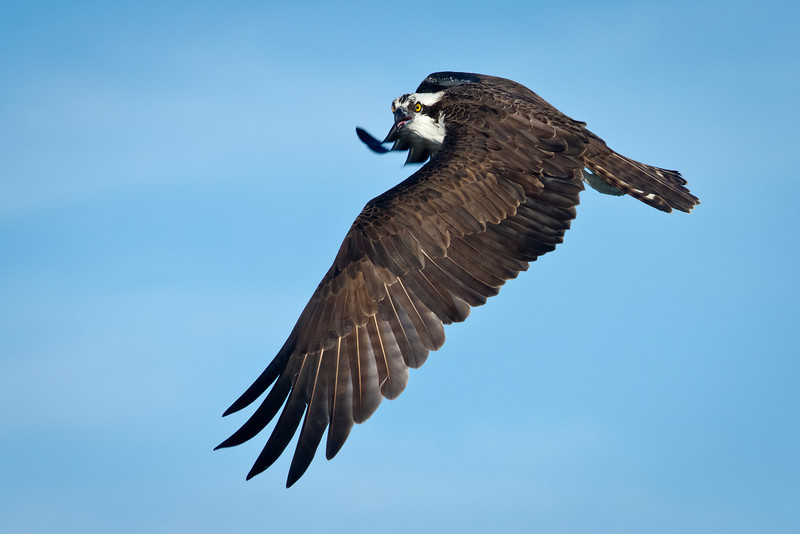 Osprey on the hunt over Vilano Beach