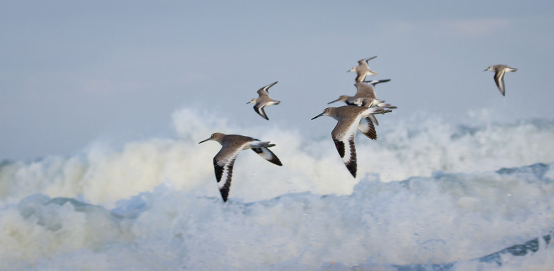 Willets in flight over an angry surf