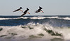 Black-Skimmers avoiding angry sea waves