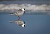 Reflective Tern