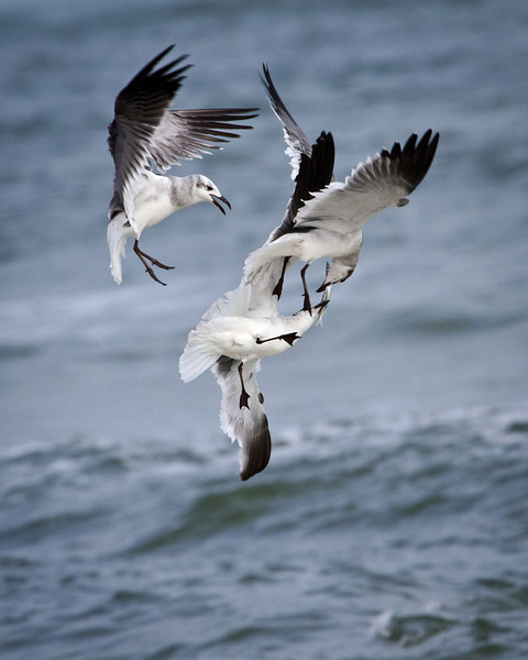 Gulls Battling for dinner