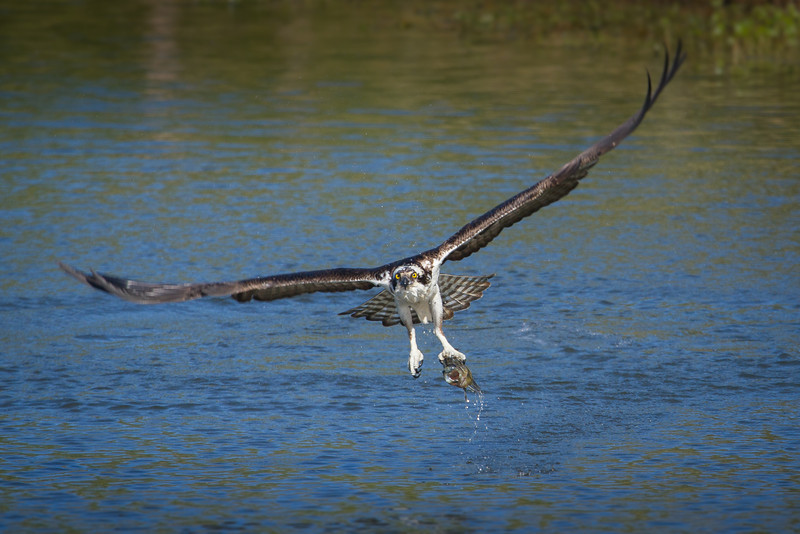 Osprey snatches bass from our backyard pond