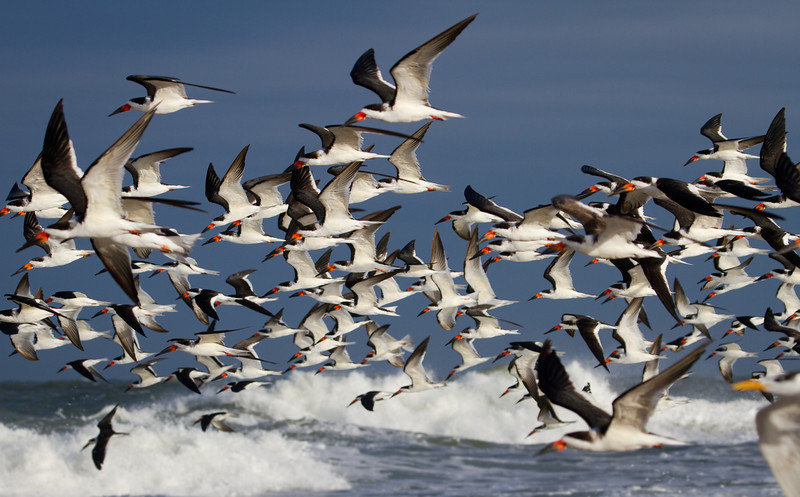 Colony of Black-Skimmers skimming the surf
