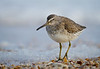 Short-billed Dowitcher posing on shattered shells in the frothy surf