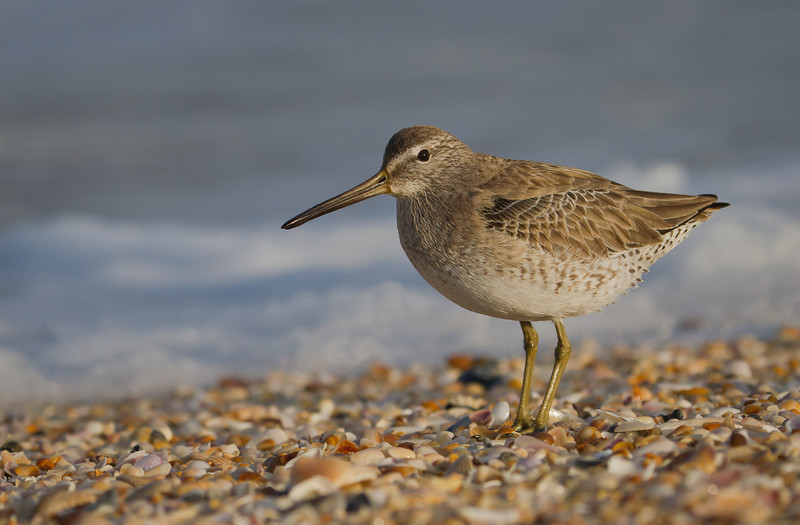 Short-billed Dowitcher posing on shattered shells