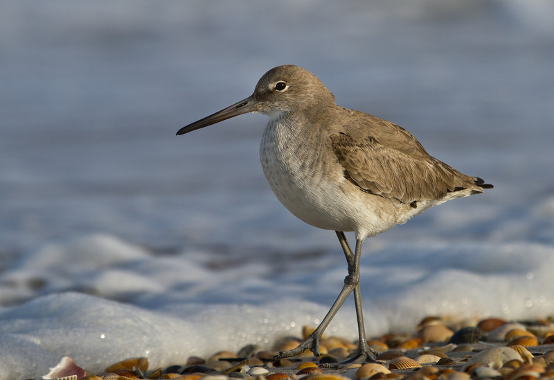 Prowling Willet