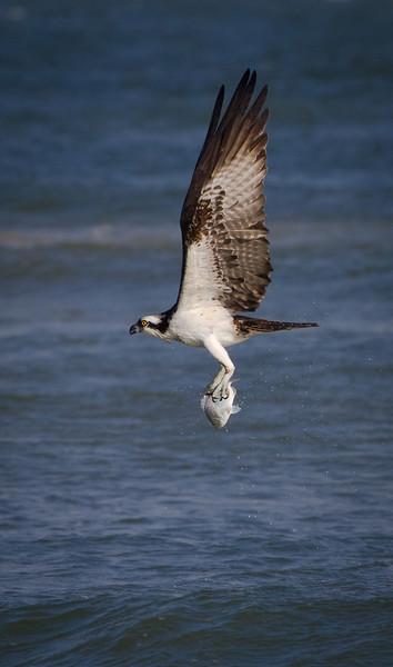 Osprey with fresh-catch