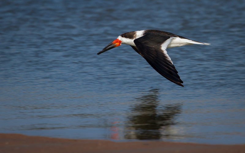 Black-Skimmer propelling across tide pool