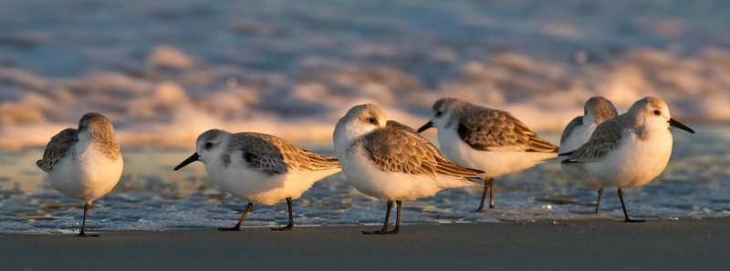 Sanderlings basking in the late afternoon sunlight