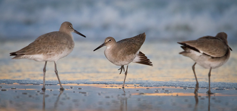 Willets enjoying the last moments of dusk
