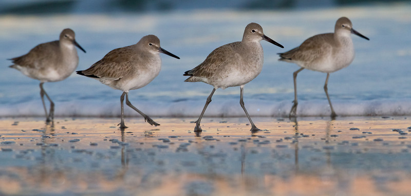 Willets on the march in surf