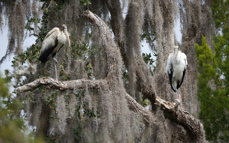 Wood Storks at Fort Mose