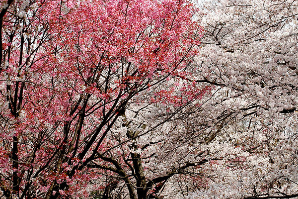 Cherry Blossoms, Showa Park west of Tokyo; #6.
