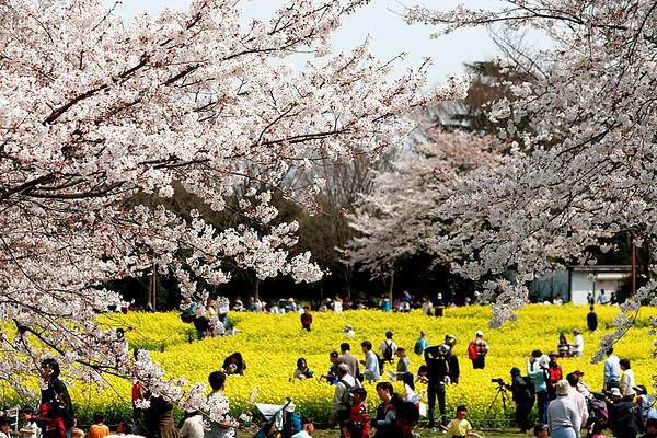 Cherry Blossoms, Showa Park west of Tokyo; #1.