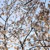 Cherry Blossoms, #4.