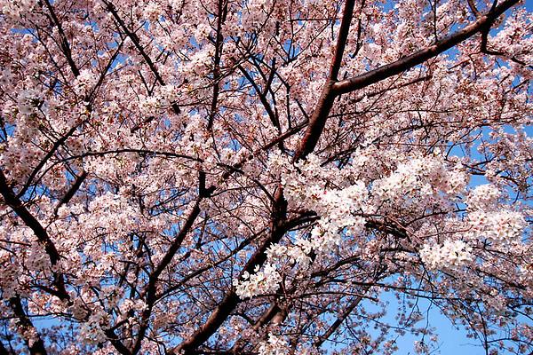 Cherry Blossoms; #3.